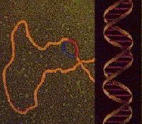 DNA bei der Proteinsynthese