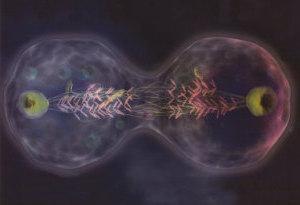 Krebserregendes Protein korrigiert die Zellteilung